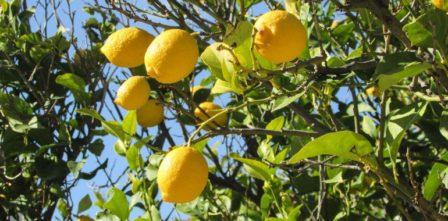 citróny na strome